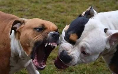 Ataque de tres pitbull a una joven