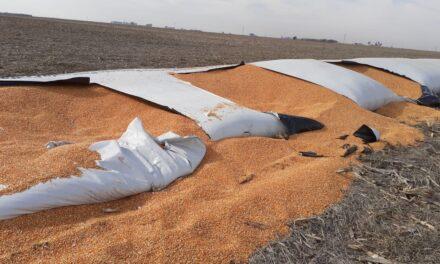 Robaron 10.000 kilos de maíz en un campo y rompieron un silobolsa