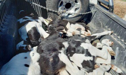 Gendarmería secuestró animales en un procedimiento